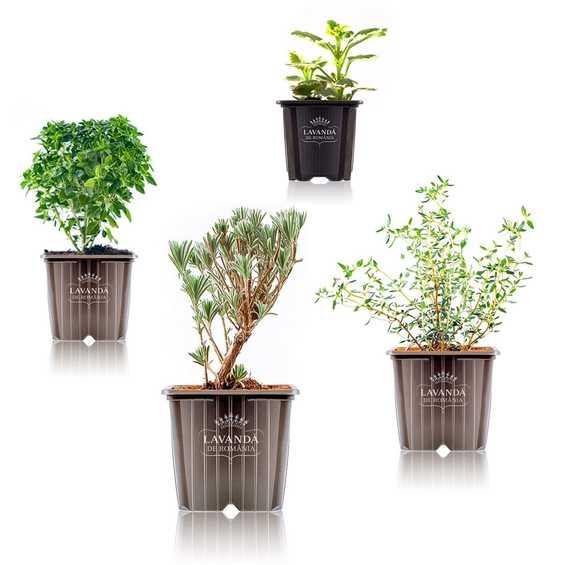 Plante Lavanda relaxare